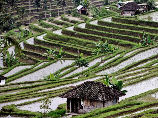 Bali – Les rizières